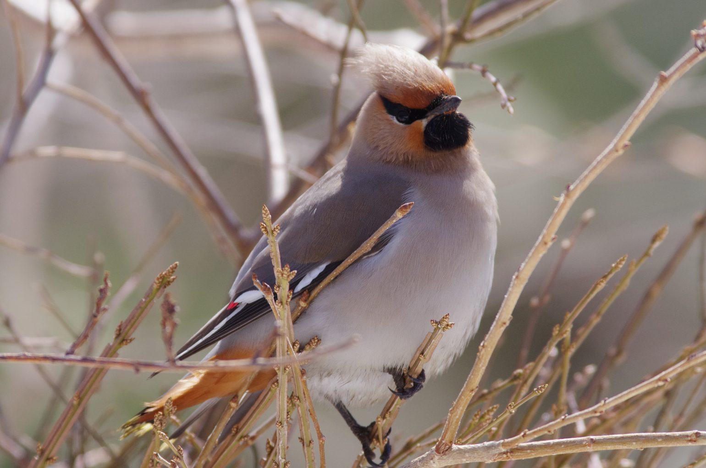 AFボーグ BORG71FLで撮影した野鳥・ヒレンジャクの写真画像