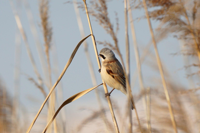 BORG71FLで撮影した野鳥・ツリスガラの写真画像