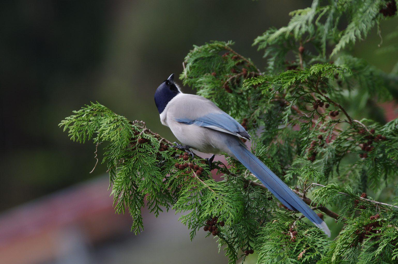 AFボーグ BORG71FLで撮影した野鳥・オナガの写真画像