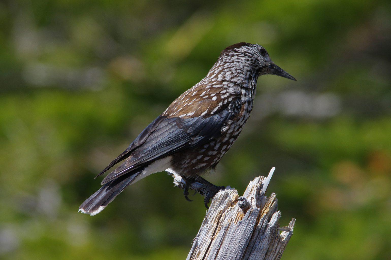 AFボーグ BORG71FLで撮影した野鳥・ホシガラスの写真画像