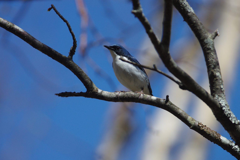 AFボーグ BORG71FLで撮影した野鳥・コルリの写真画像
