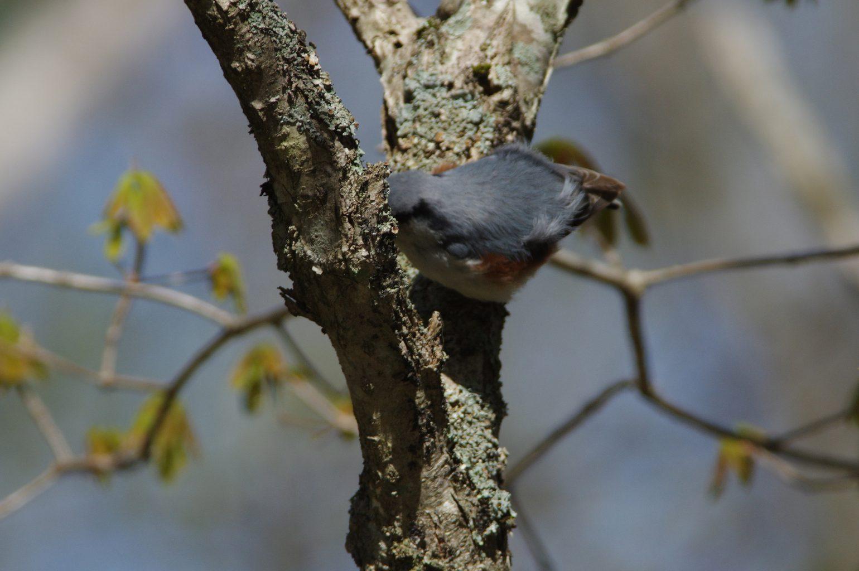AFボーグ BORG71FLで撮影した野鳥・ゴジュウカラの写真画像