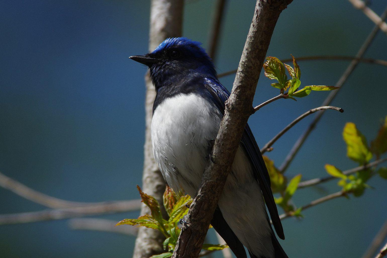 AFボーグ BORG71FLで撮影した野鳥・オオルリの写真画像