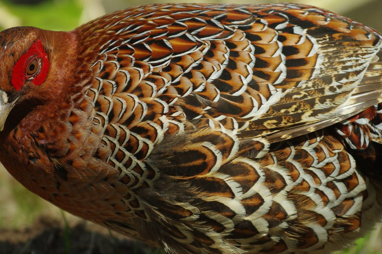 BORG90FLで撮影した野鳥・ヤマドリの写真画像