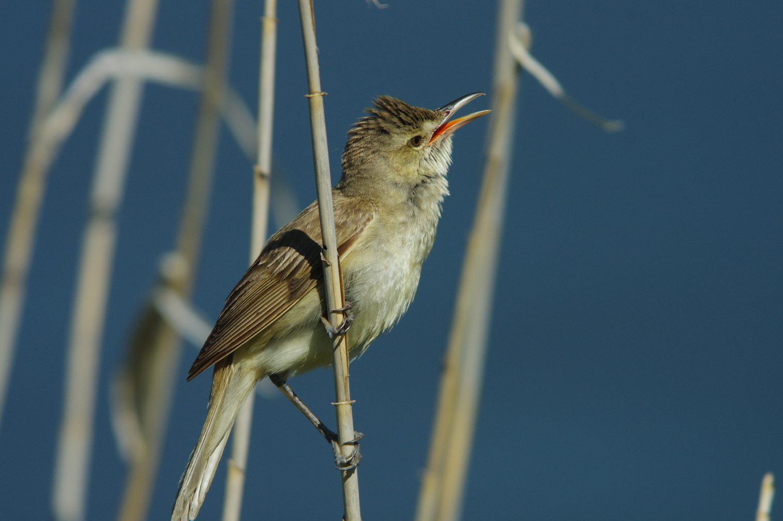 BORG90FLで撮影した野鳥・オオヨシキリの写真画像