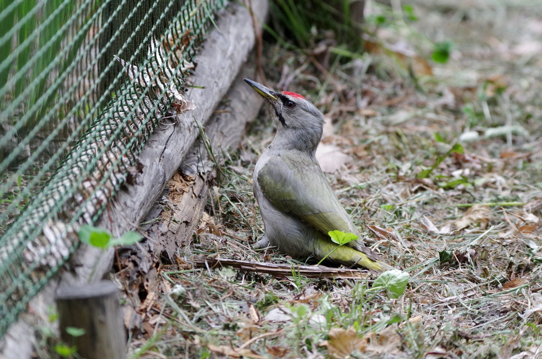 BORG89EDで撮影した野鳥・ヤマゲラの写真画像