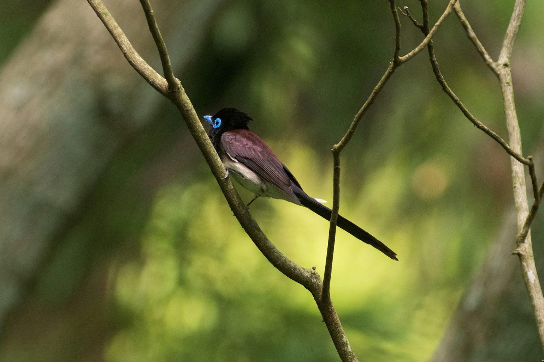 BORG89EDで撮影した野鳥・サンコチョウの写真画像