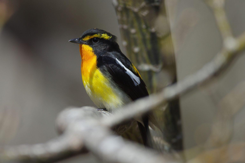 BORGで撮影した野鳥・キビタキの写真画像
