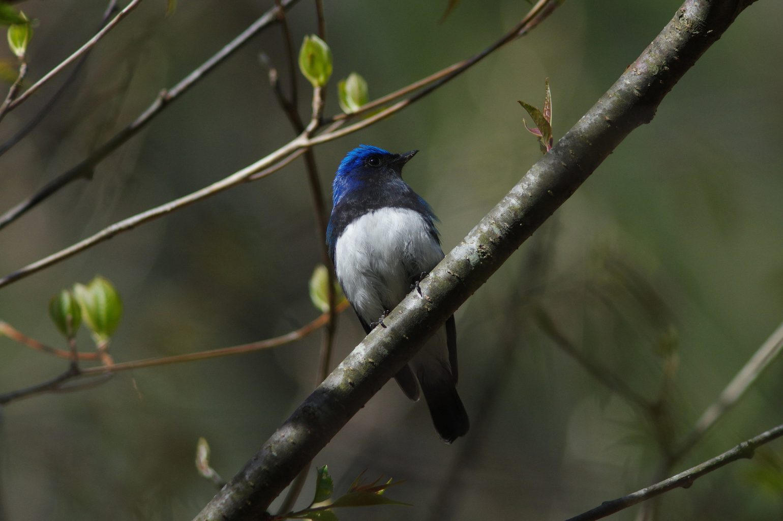 BORGで撮影した野鳥・オオルリの写真画像