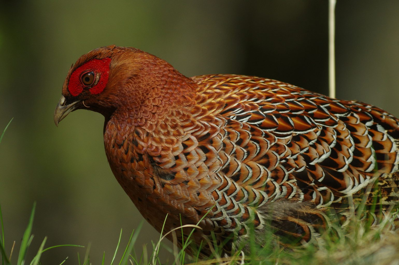 BORGで撮影した野鳥・ヤマドリの写真画像