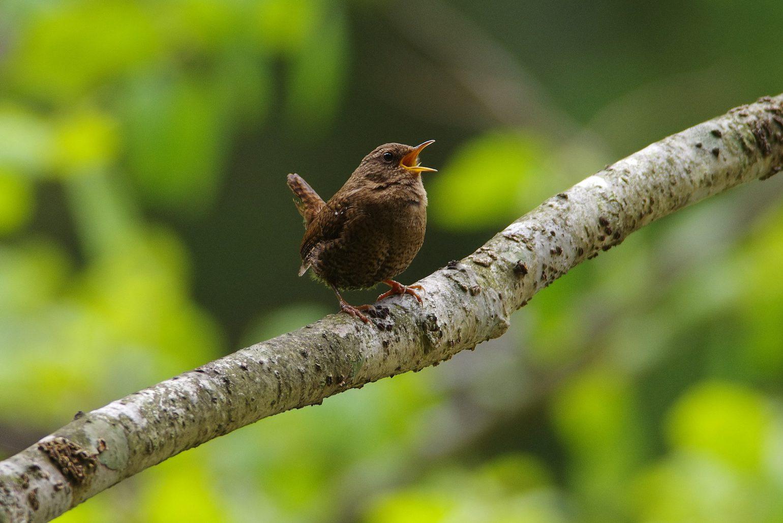 BORGで撮影した野鳥・ミソサザイの写真画像