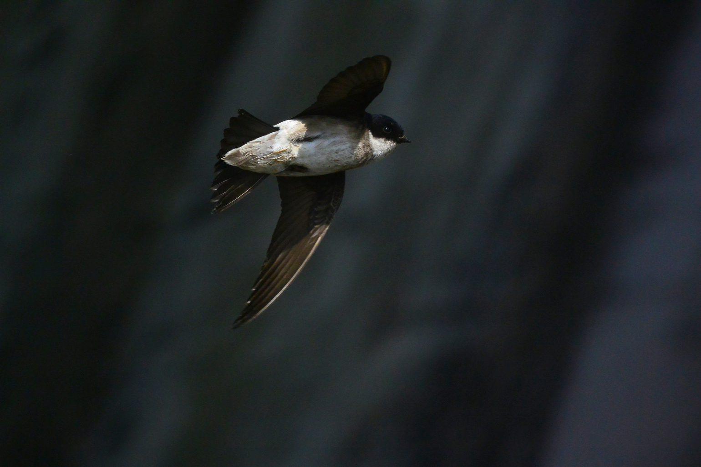 BORG50FLで撮影した野鳥・ツバメ飛翔写真画像