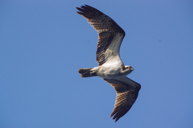 AFボーグ BORG67FLで撮影した野鳥・ミサゴの写真画像