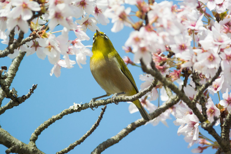 BORG71FLで撮影した野鳥・メジロの写真画像
