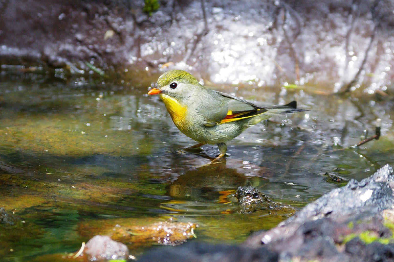 BORG71FLで撮影した野鳥・ソウシチョウの写真画像