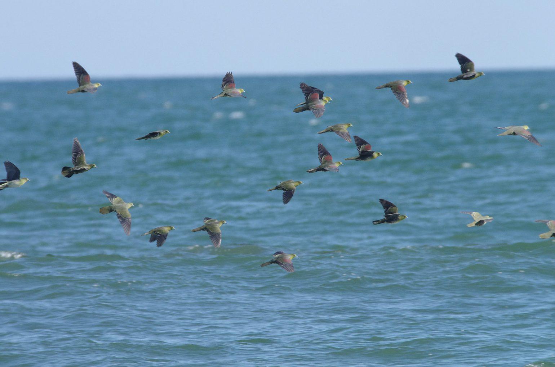 AFボーグ BORG71FLで撮影した野鳥・アオバトの写真画像