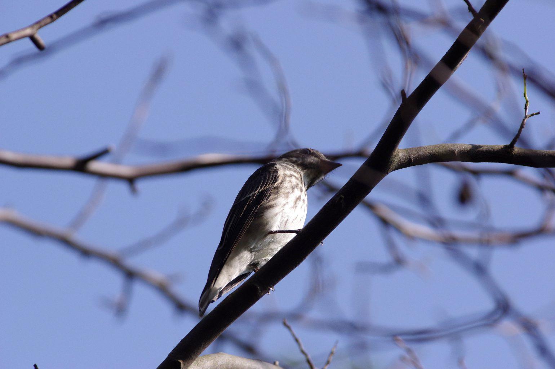 AFボーグ BORG71FLで撮影した野鳥・エゾビタキの写真画像
