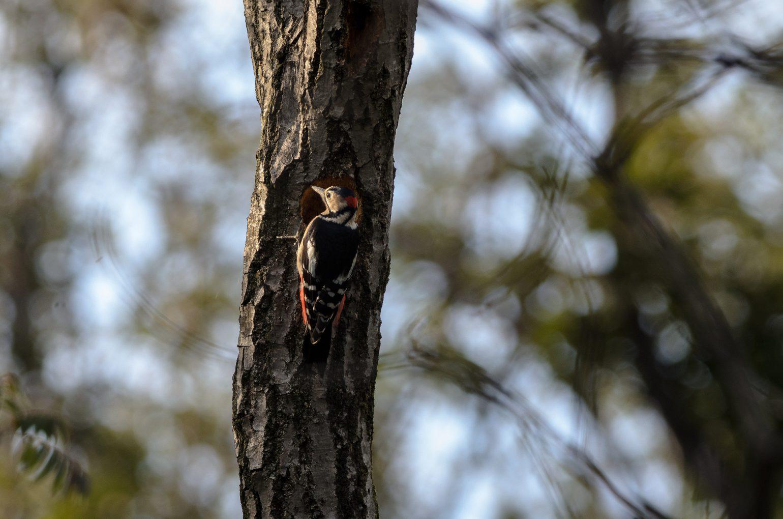 BORG90FLで撮影した野鳥・アカゲラの写真画像