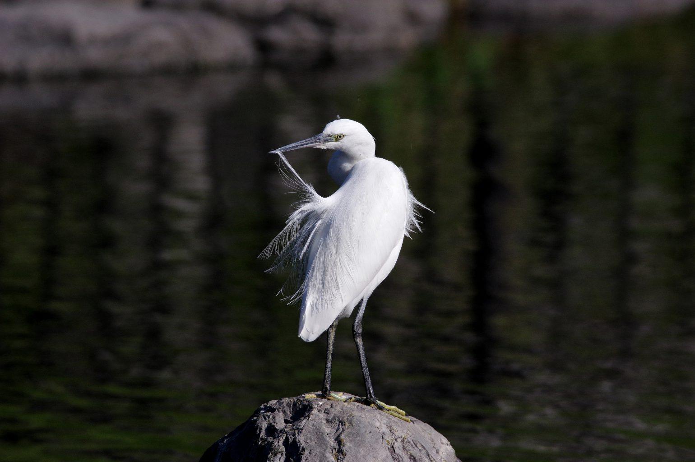 AFボーグ BORG71FLで撮影した野鳥・小サギの写真画像