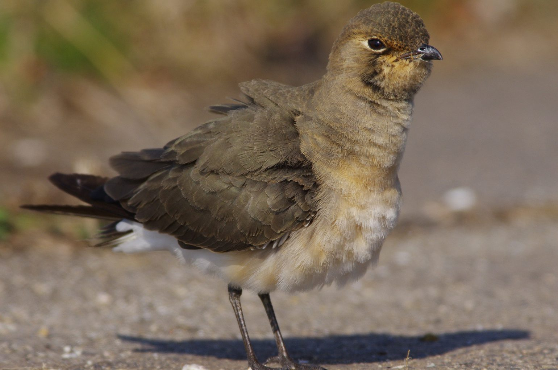 AFボーグ BORG90FLで撮影した野鳥・ツバメチドリの写真画像