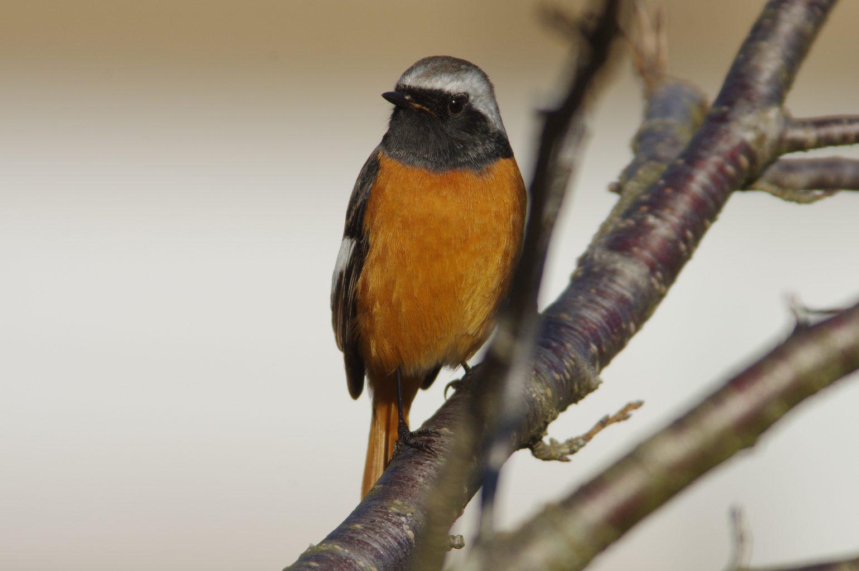 AFボーグ BORG90FLで撮影した野鳥・ジョウビタキの写真画像