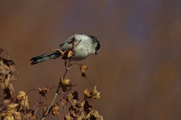 エナガ 野鳥画像