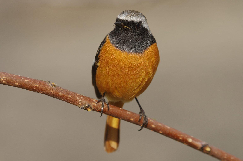 BORG90FLで撮影した野鳥・ジョウビタキの写真画像