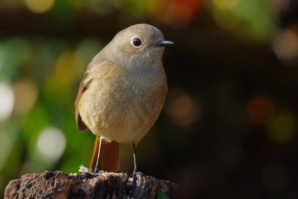 野鳥画像 ジョウビタキ