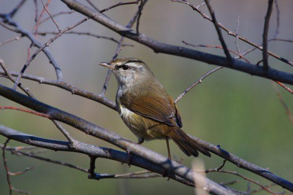 野鳥画像 ウグイス