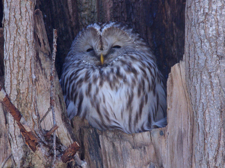 BORGで撮影した野鳥・エゾフクロウの写真画像