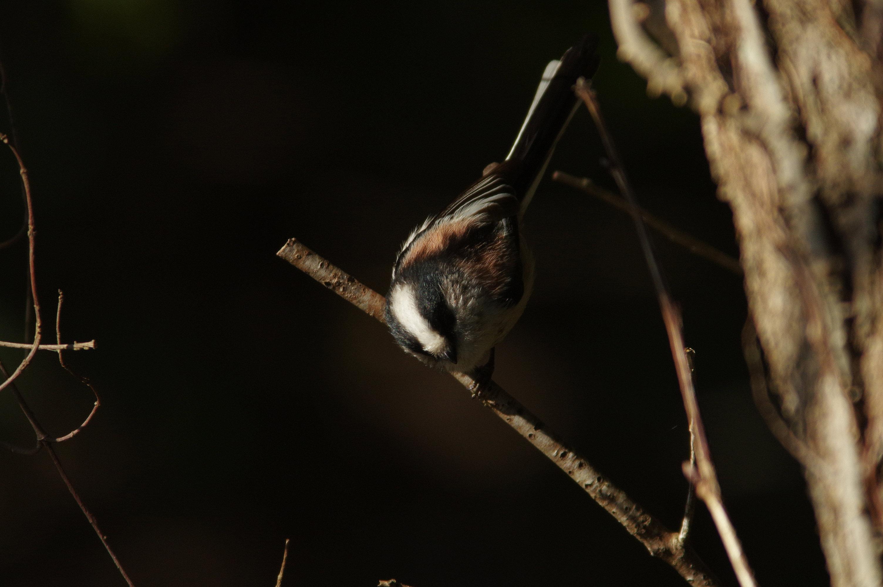 野鳥画像 エナガ