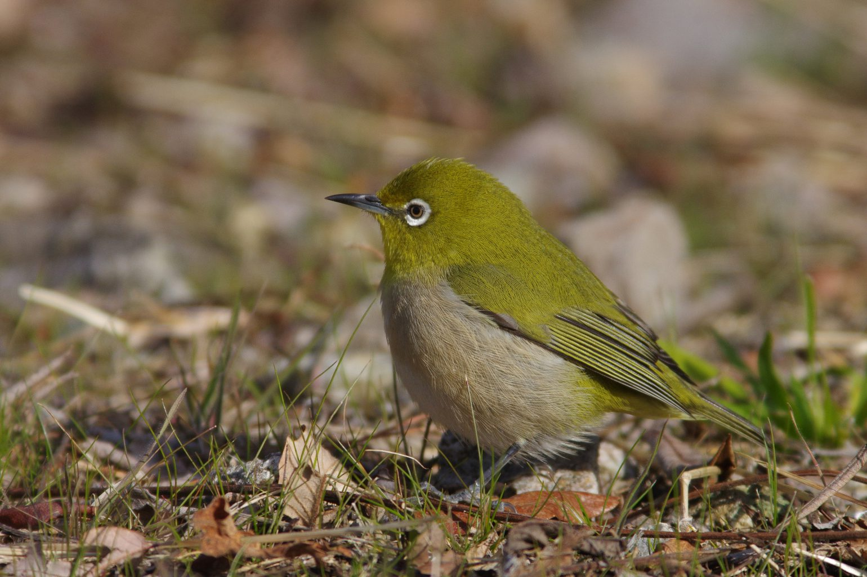 AFボーグ BORG90FLで撮影した野鳥・メジロの写真画像