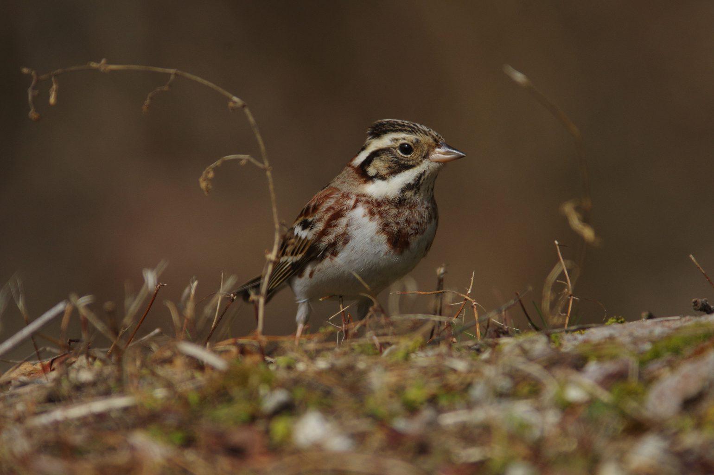 AFボーグ BORG90FLで撮影した野鳥・カシラダカの写真画像
