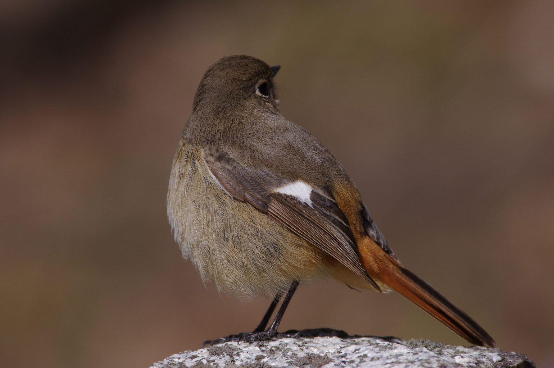AFボーグ BORG71FLで撮影した野鳥・ジョウビタキの写真画像