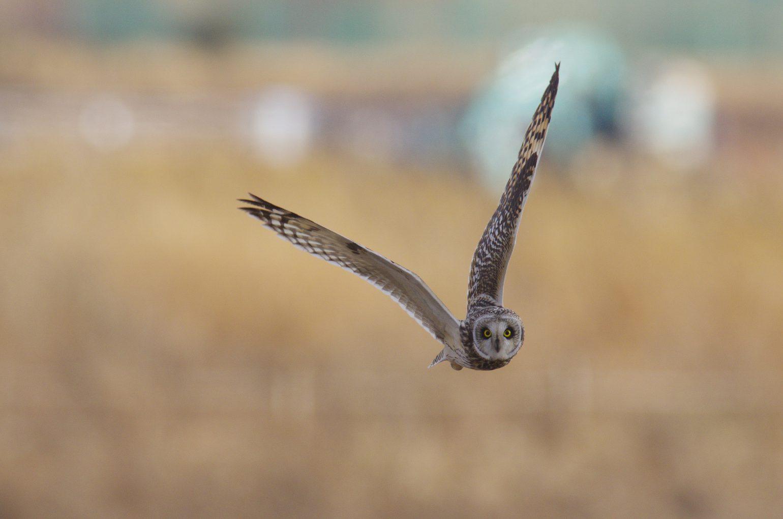 AFボーグ BORG90FLで撮影した野鳥・コミミズクの写真画像