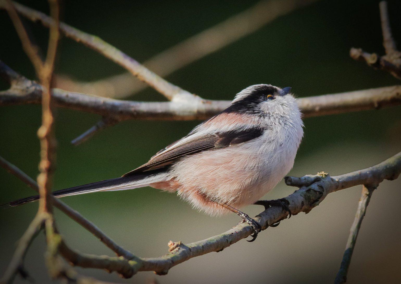 AFボーグ BORG71FLで撮影した野鳥・エナガの写真画像