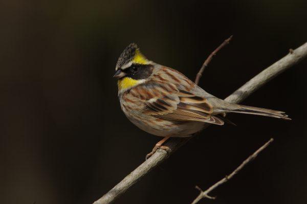 野鳥画像 ミヤマホオジロ