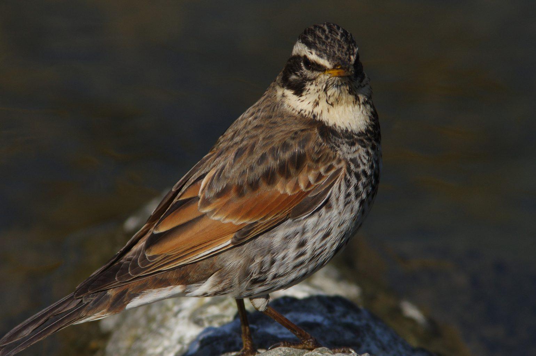 AFボーグ BORG90FLで撮影した野鳥・ツグミの写真画像