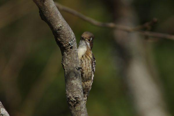 野鳥画像 コゲラ