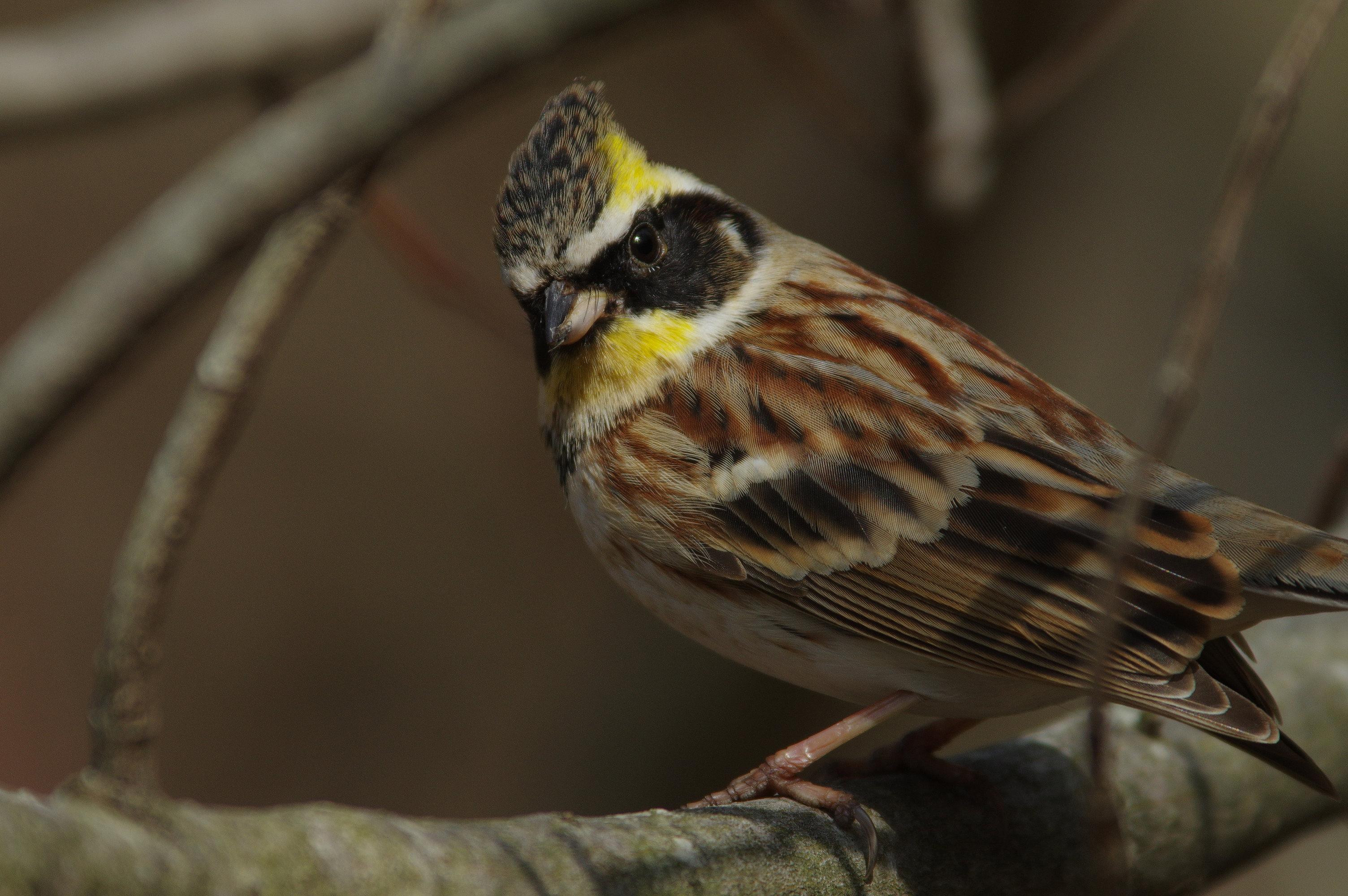 AFボーグ BORG90FLで撮影した野鳥・ミヤマホオジロの写真画像