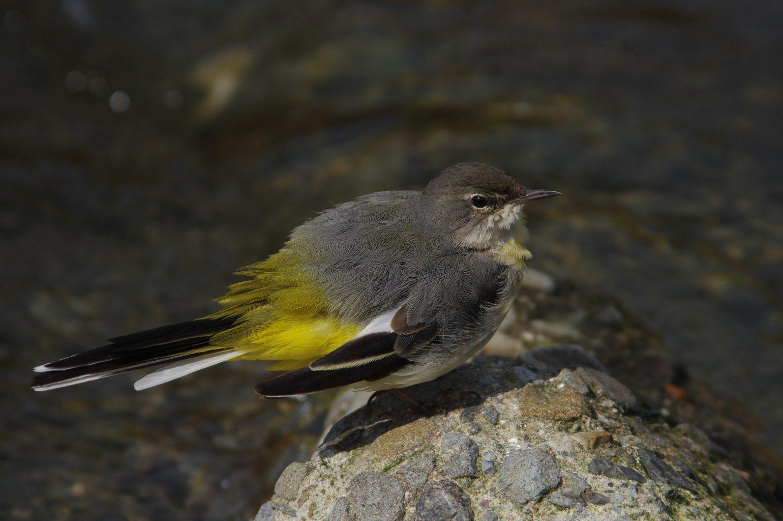AFボーグ BORG90FLで撮影した野鳥・キセキレイの写真画像
