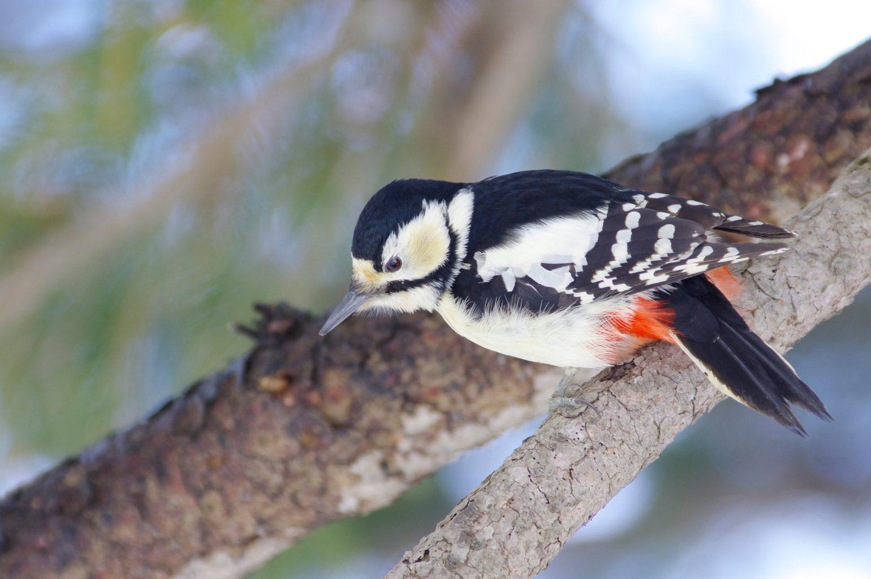 BORG67FLで撮影した野鳥・アカゲラの写真画像