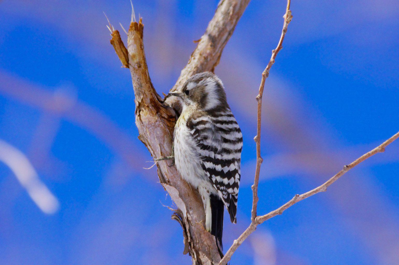 BORG67FLで撮影した野鳥・コゲラの写真画像