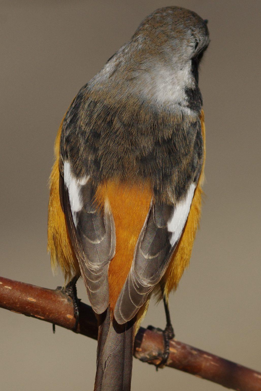 BORG89EDで撮影した野鳥・ジョウビタキの写真画像