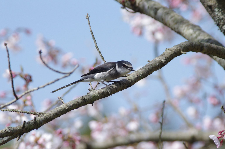 AFボーグ BORG71FLで撮影した野鳥・サンショウクイの写真画像