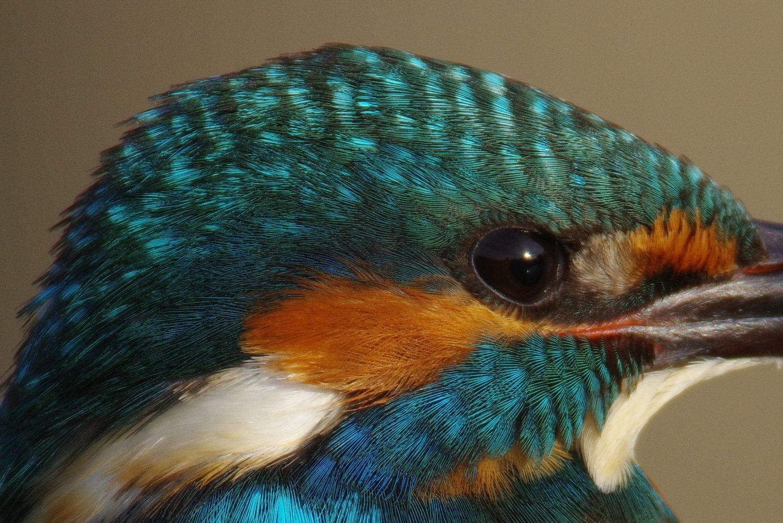 BORGで撮影した野鳥・カワセミの頭部の写真画像