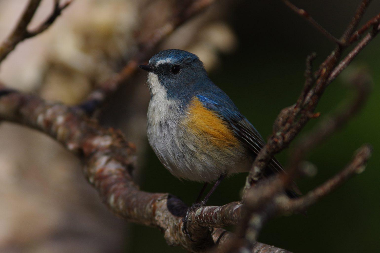 AFボーグ BORG90FLで撮影した野鳥・ルリビタキの写真画像