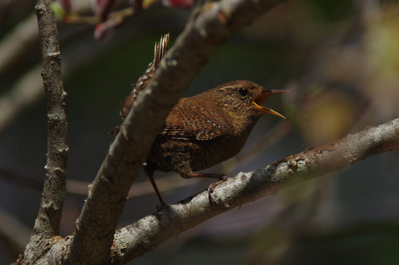 BORG90FLで撮影した野鳥・ミソサザイの写真画像