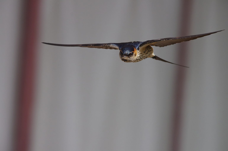 AFボーグ BORG71FLで撮影した野鳥・コシアカツバメの飛翔シーン写真画像