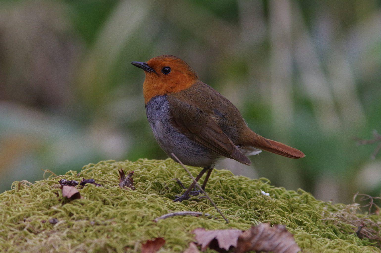 AFボーグ BORG90FLで撮影した野鳥・コマドリの写真画像